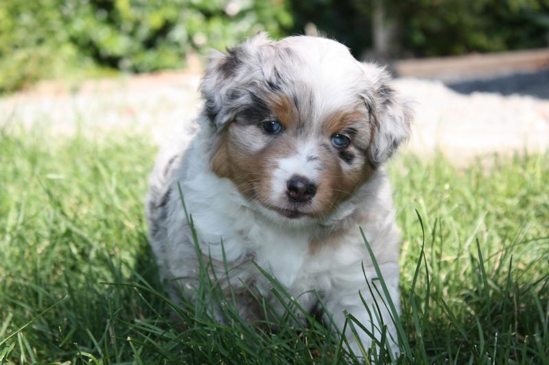 Mini American Shepherd Check our puppies page.